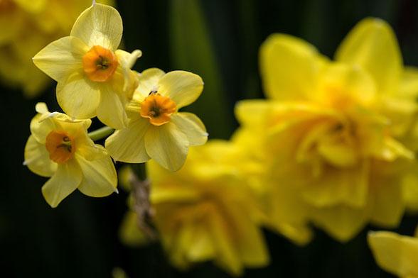 Daffodil at Allen Centennial Garden
